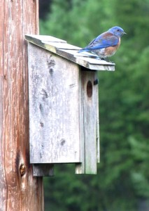 Local Beavercreek artist Rachel Denny captured this female Western bluebird and shared the photo with us.