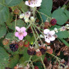 Invasive blackberry  photo by Sam Leininger