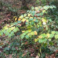 Knotweed in Corral Creek Riparian Area