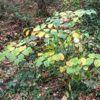 Knotweed in Corral Creek Riparian Area