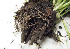 Tubers and bulblets of the plant must be dug up and disposed of properly.