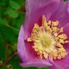 nootka rose feature
