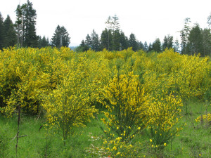 Scotch Broom provides a highly flammable fuel for wildfires. (Photo S. Leininger)
