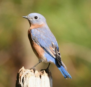 """The western bluebird is listed as a """"sensitive"""" species in the northern Willamette Valley."""