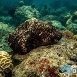 starry eyed puffer or Arothron stellatus