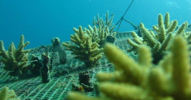 Monotypic corals