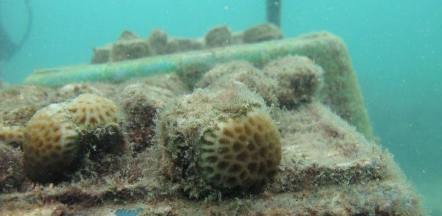 Juvenile corals produced through our coral spawning program