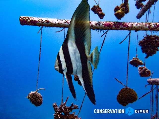 batfish coral nursery
