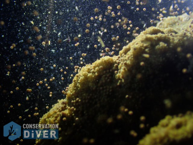 coral spawning, Philippines
