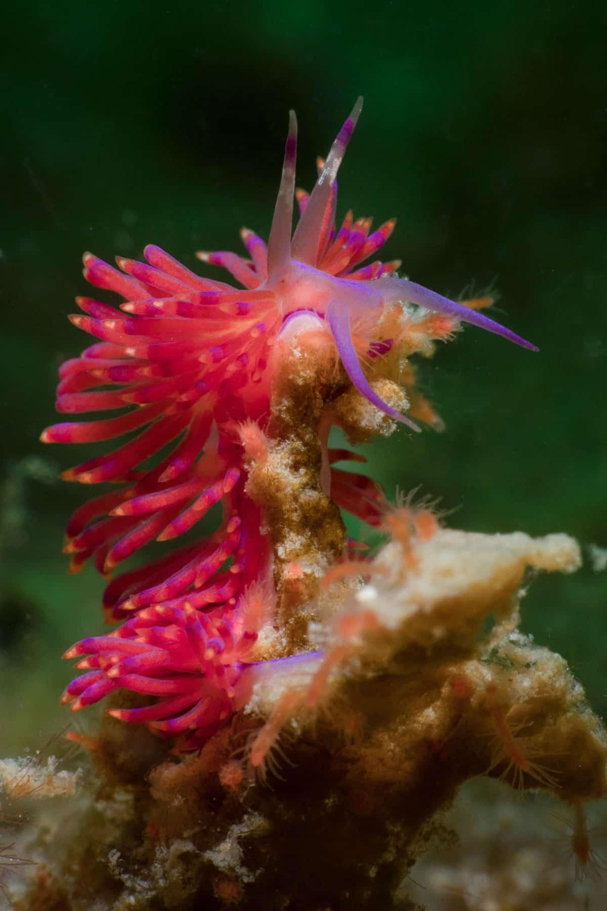 thai nudibranch