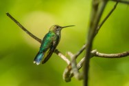 Rainforest hummingbird