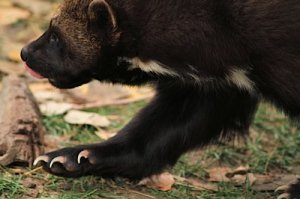 Dependent on deep snowpack for denning, the wolverine (Gulo gulo) is a climate sensitive species.
