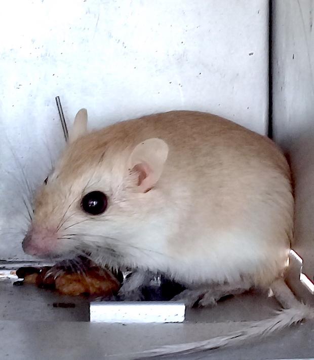A gerbil being measured.