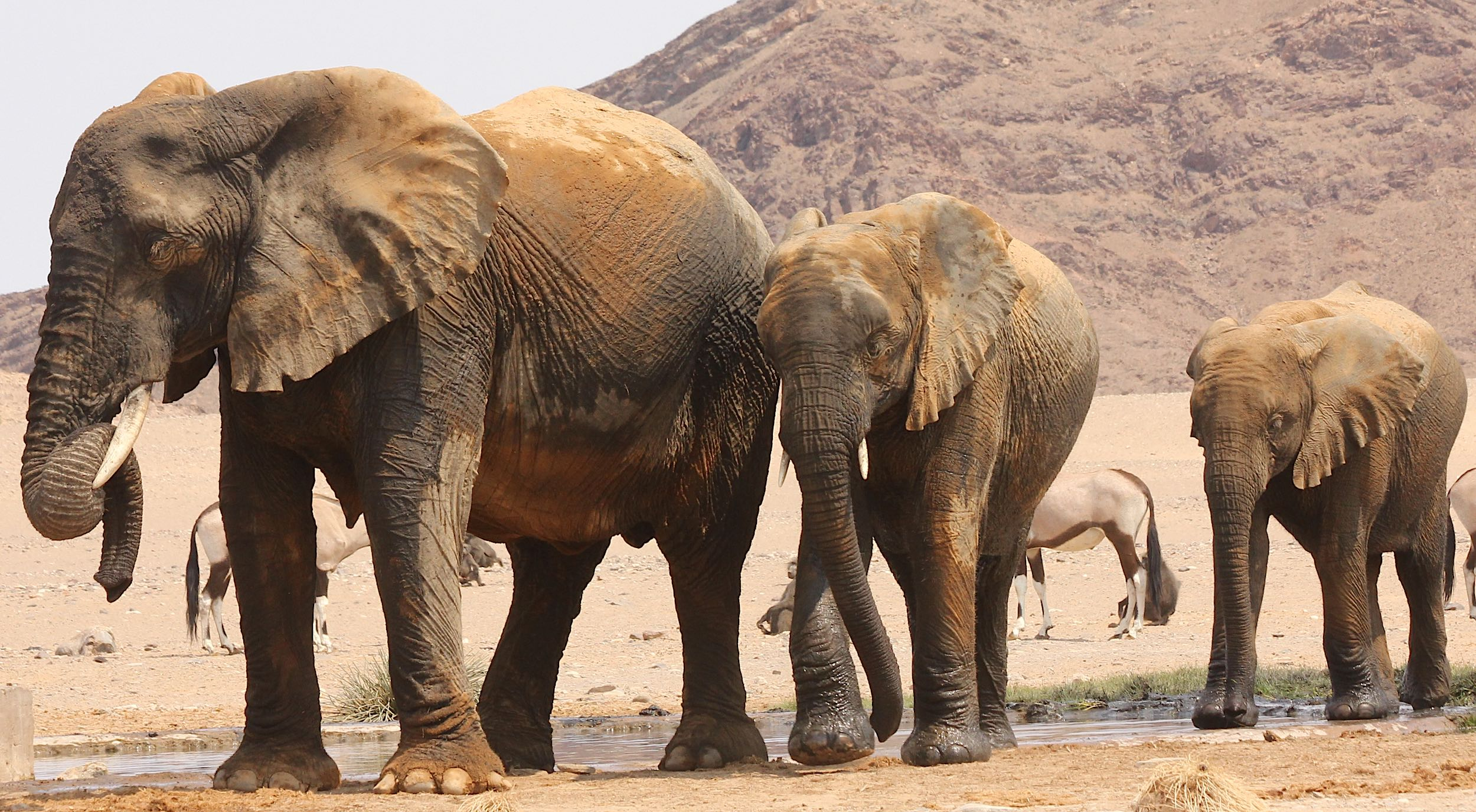 Three elephants emerge, wet, from a waterhole, with gemsbok and baboons awaiting their turn in the background.