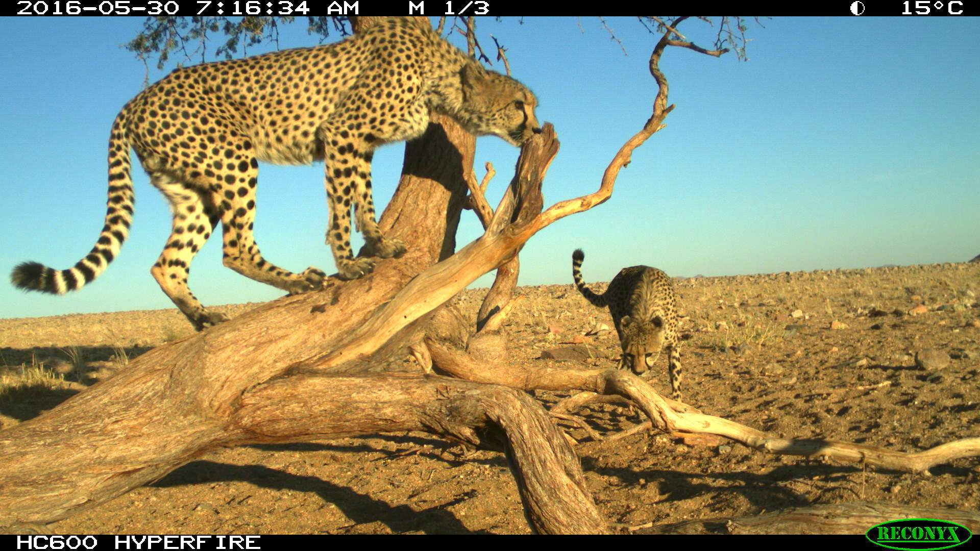 A camera trap photo showing two cheetahs clambering over a dead looking tree.