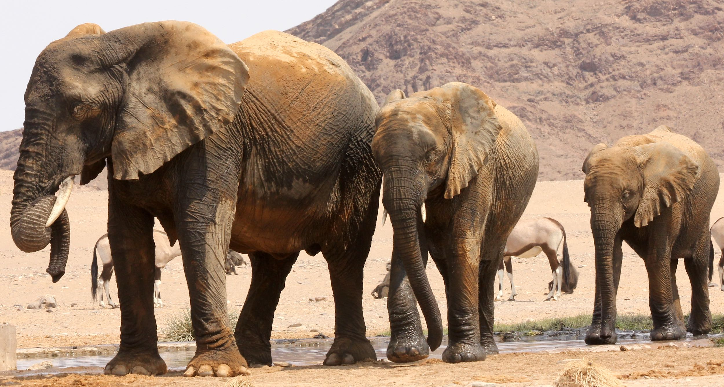 A group of elephants at a waterhole in the desert of NW Namibia.
