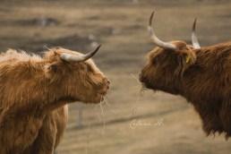 Highlands cows
