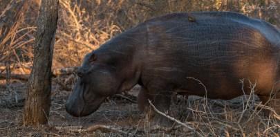 Hippo avec un Pique Boeuf à bec rouge sur le dos
