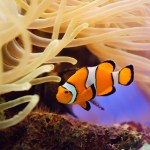 http://www.dreamstime.com/stock-photography-fish-anemone-image1645552