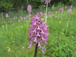 Monkey X Lady Orchid Hybrid. Hartslock Reserve, May 2014.