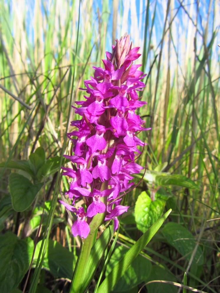 Southern Marsh Orchid. Dawlish Warren, May 2014.
