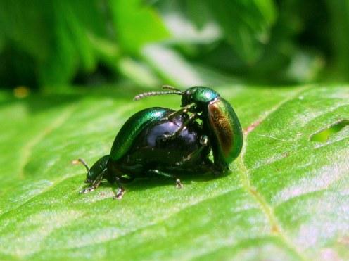 Green dock beetle (Gastrophysa viridula)