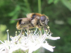 Cheilosia illustrata, a bee mimicing hoverfly fairly that's fairly common on hogweed