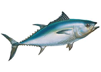 Tuna Hepatitis A