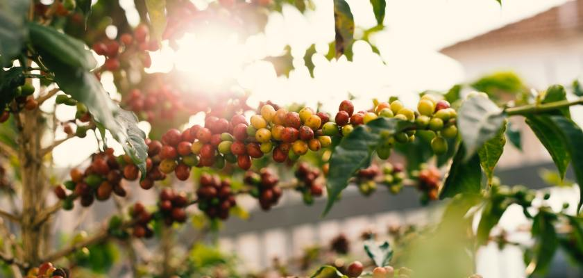 Kona Coffee Farmers Settlement For $7 Million