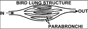 Structure of Bird Lung