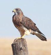 Cosa significa sognare un falco?