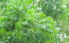 Olio di neem: l'alleato delle unghie!