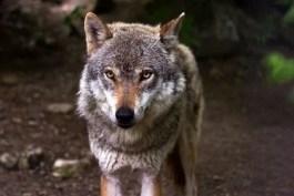 Sognare di ricevere in regalo un lupo: sogno di Wilma