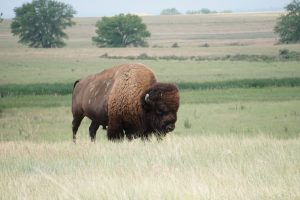 Bison at the Rocky Mountain Arsenal in Denver, Colorado