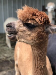 Alpaca Farm in Cincinnati, OH