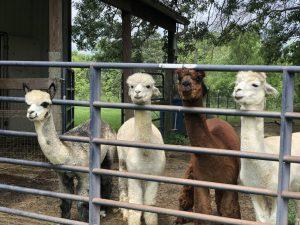 Alpaca Farm in Ohio