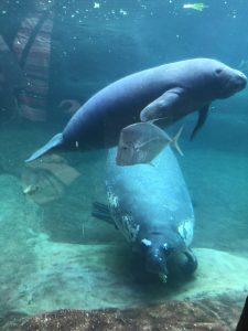 Columbus Zoo Manatees