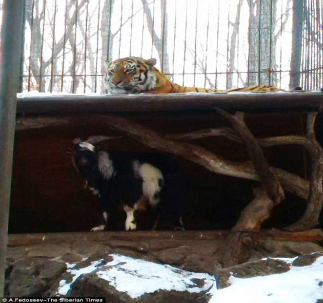 The goat also stole the tiger's bed | Photo credit: The Siberian Times