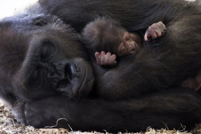 Gorilla with her baby warmly and affectionately cuddled during sleep   Photo credits: zooborns.typepad.com