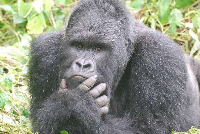 Gorillas are emotional just like humans and could be affected by sad events | Photo credits: greatapetrust.org