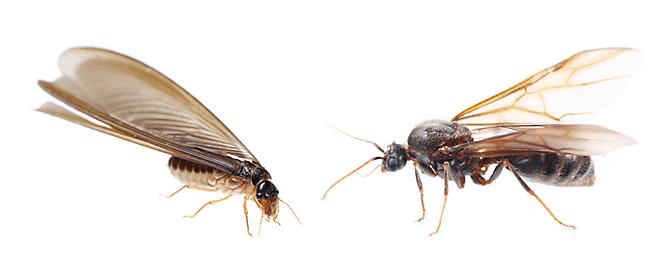 Termites vs. Flying Ants