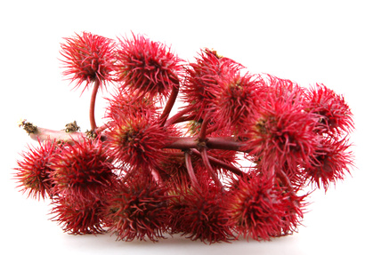 castor oil plant flowers on white background.
