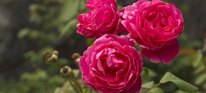 4keeps rose review