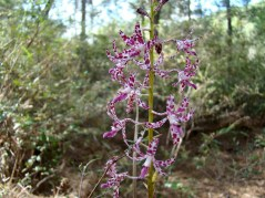 There are many ground orchids found beside this track