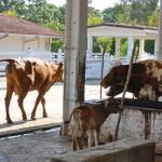 Campesinos cubanos con más de diez vacas aplicarán la inseminación artificial
