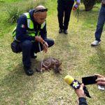 Rescatan en Saltillo ejemplar de zorra gris