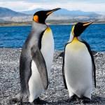 Reproducción de pingüinos rey amenazada por cambio climático