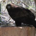 Nacen enMéxicodos águilas reales, especie en peligro de extinción