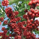 Otorgan un millón de dólares para promover producción de café en Nicaragua