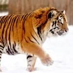 Rusia comienza la adecuación de un parque para proteger al tigre siberiano